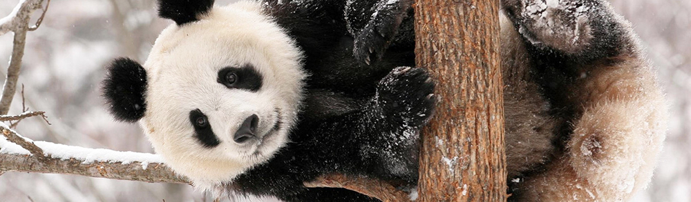 animals_bears_panda_in_tree_033229_.jpg